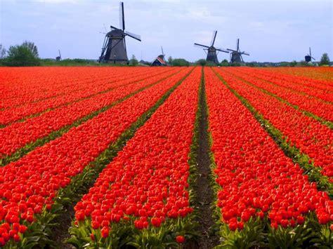 fiori dall olanda dove vedere i tulipani in olanda