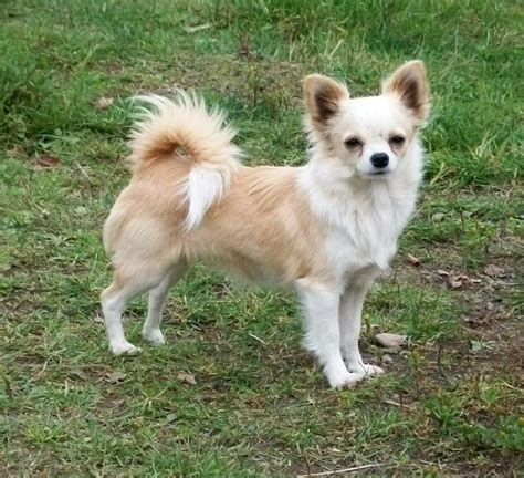 long haired chihuahua hairstyles 25 best ideas about short haired chihuahua on pinterest