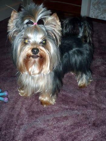 yorkshire terrier haircuts pictures explore yorkie haircuts pictures and select the best style