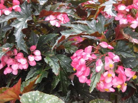 cane stemmed begonia planting growing and propagating