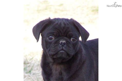 uggly pug puppies for sale from mugs pugs member since march 2007