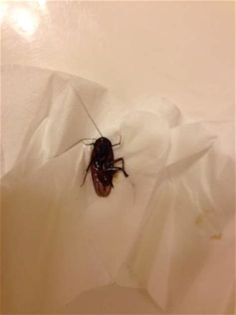 Cockroach Killed In Bathroom Picture Of Dunes Village Cockroach In Bathroom