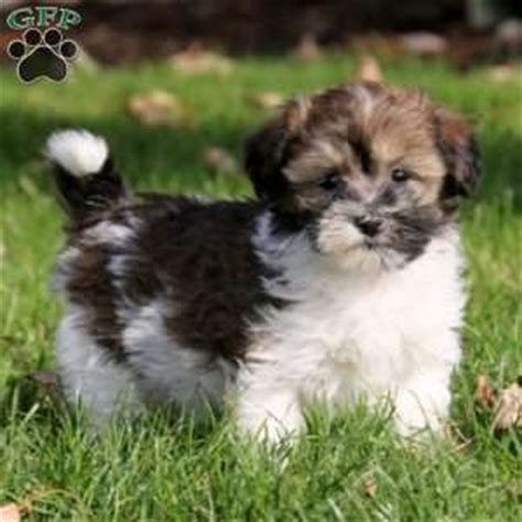 havanese puppies for sale in maryland havanese puppies for sale breed profile greenfield puppies