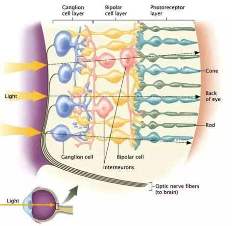 rods in the retina are the receptors for color what are the functions of retinal cells quora