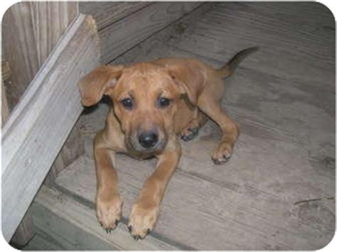 rhodesian ridgeback puppies ohio rhodesian ridgeback boxer pups adopted puppy wauseon