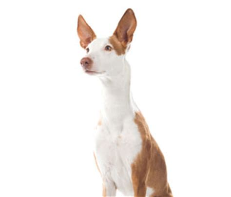 ibizan hound puppies for sale dogs puppies for sale pupcity