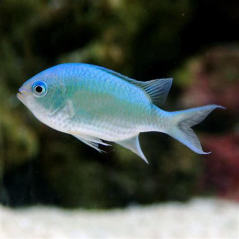 Mini Fish Blue real fish fishville wiki fish plants decorations environment and more
