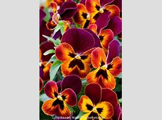 ~~Violets Trailing Pansy 'Wonderfall' by Saxton Holt ... Johnny Jump Up Flower Tattoo