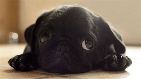 black pug puppy wallpaper black animals dogs pugs puppies pug wallpaper 1920x1080 7348 wallpaperup