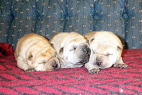 puppies 300 dollars puppies for sale 300 dollars