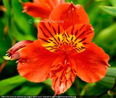 alstroemeria colors alstroemeria color names 2018 onlineflowersworld