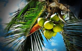 Coconut palm wallpapers pictures photos images