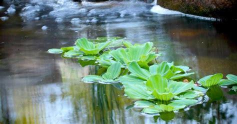 Magic Plant Can Tanaman Hidup Diy Plant nak tanam pokok dalam kolam ini jenis water plants yang sesuai impiana