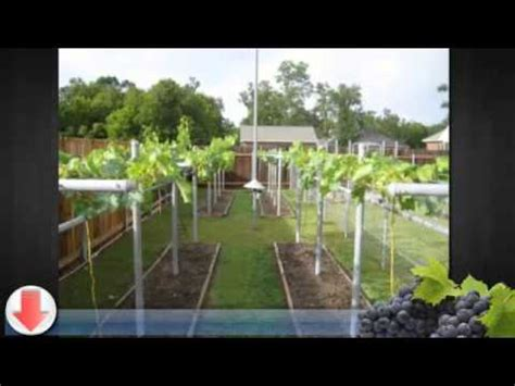 growing grapes in backyard how to grow grapes in your backyard youtube