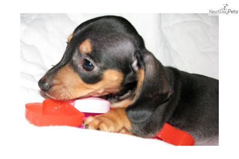 miniature dachshund puppies for sale in louisiana miniature dachshunds dachshund for sale in kinder la image breeds picture