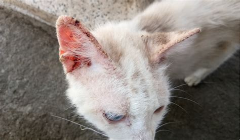 feline scabies  cats petcoach