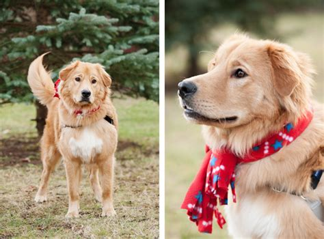 golden retriever puppies syracuse ny happy tails duncan and norman daily tagdaily tag