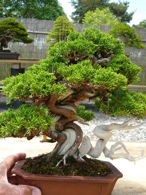 bonsai garten nauhuri bonsai baum garten neuesten design