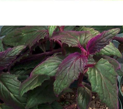 plant with beautiful leaves a purple velvet plant is a beautiful hanging plant with toothy