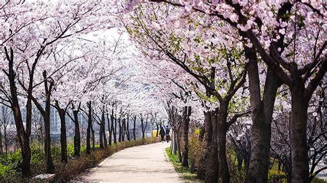 overwhelmingly beautiful japanese cherry blossom sakura