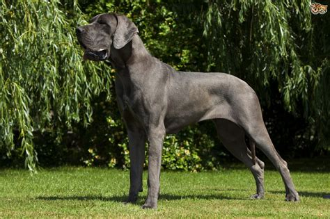 largest breed large breeds