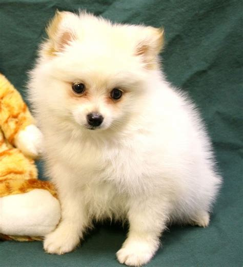 pomeranian puppies white best 25 white pomeranian puppies ideas on white pomeranian teacup
