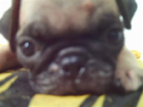 pug puppies for sale philippines pug puppies for sale offer cebu city cebu philippines 11000