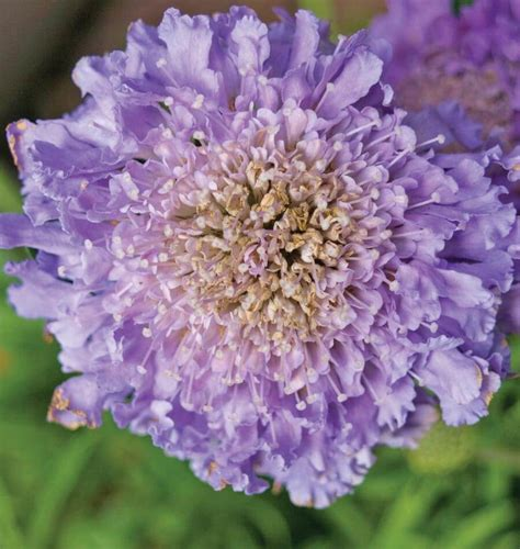 Bibit Benih Seeds Pinchushion Flower Mix Scabiosa Atropurpurea scabiosa imperial mix seeds for organic growing