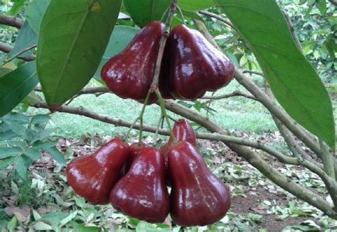 Bibit Jambu Air Dalam Pot bibit jambu air black kungtanaman
