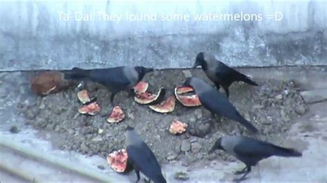 crows eating watermelons a bird video by darshd youtube