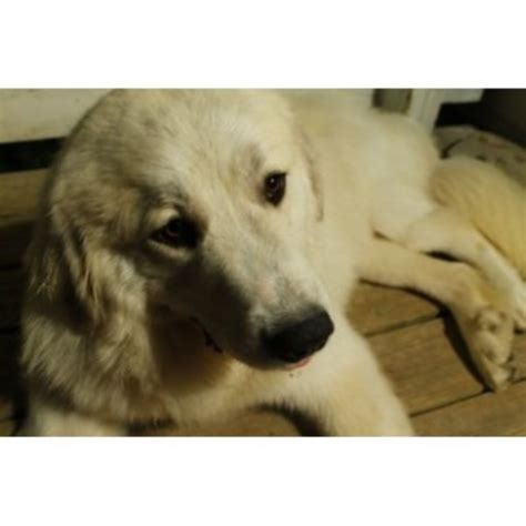 puppies columbia mo pyrelegance kennels great pyrenees breeder in columbia missouri