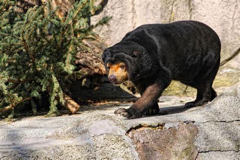 Beruang Thailan cebu beruang dan jenis jenisnya