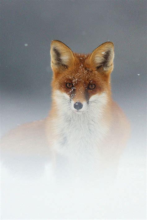 brown fox wallpaper iphone   iphone wallpaper