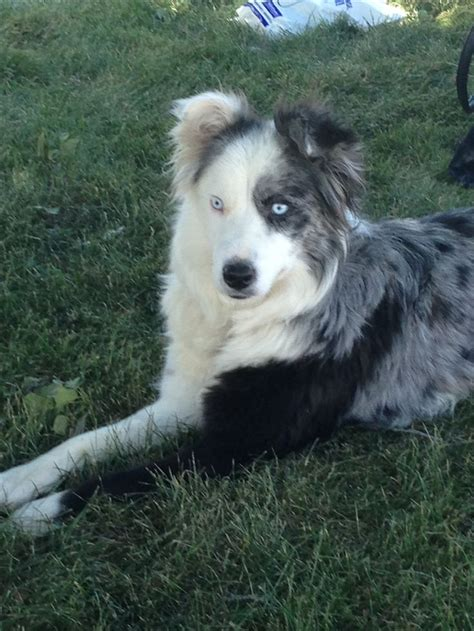 Border Collie Also Search For The 25 Best Border Collie Blue Merle Ideas On Blue Merle Aussie Shepherd