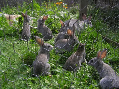 Rabbits In Garden by Hens And The Garden A Tragedy A Unprocessed