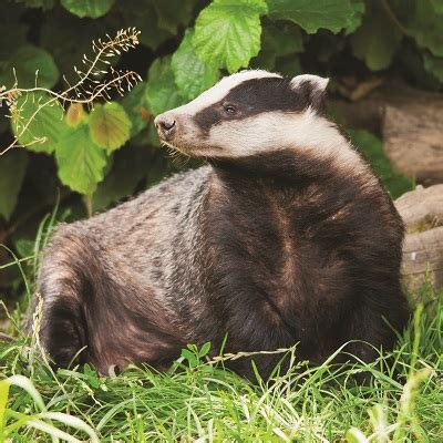 badger cull petition badger culling sign the petition against culling of badgers