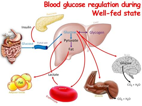 carbohydrates synonym list of synonyms and antonyms of the word blood glucose