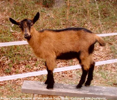 major breeds swiss oberhasli rarest of the major dairy goat breeds and possibly the cutest goat