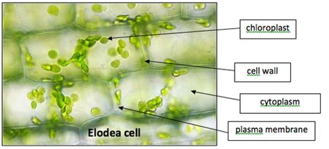 elodea cell diagram elodea leaf microscope labeled quotes