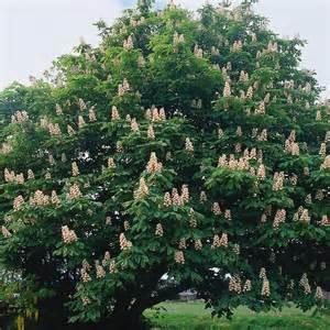 Spring Trees And Flowers - aesculus hippocastanum horse chestnut dobbies garden