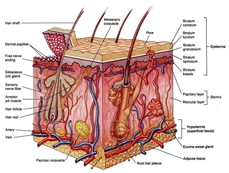 cross section of human skin skin diagram labeling skin free engine image for user