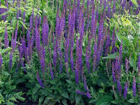 snipping shaping and shearing perennials for all summer blooms thurstontalk