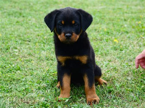carl the rottweiler carl rottweiler puppy for sale puppy