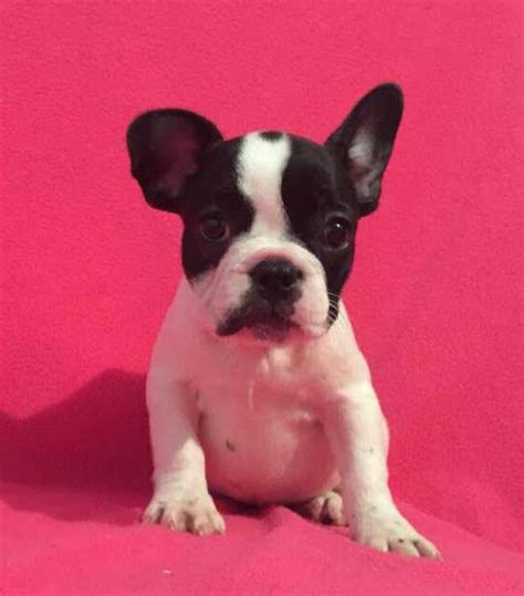 bulldog puppies sc view ad bulldog puppy for sale south carolina charleston usa