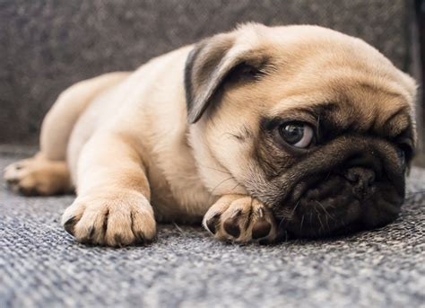 why pugs 8 reasons why you should never own a pug
