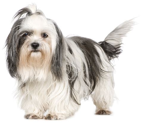 shih tzu breed characteristics shih tzu history personality appearance health and pictures