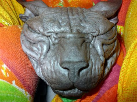 hairless breeds the sphynx cat breed is a hairless