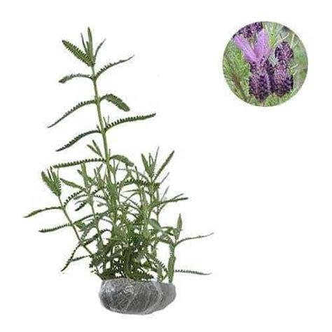Bibit Bunga Lavender Di Makassar jual tanaman lavender bibit