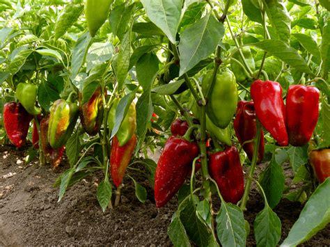 paprika im garten paprika anbau 187 der richtige standort die beste pflege