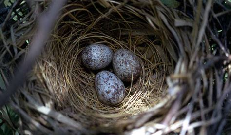 when do cardinals lay eggs list of synonyms and antonyms of the word northern cardinal eggs